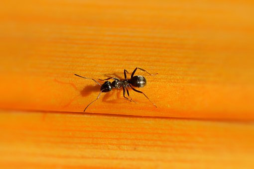 Ant, Wood, Nature, Insect, Ant Street, Macro, Black