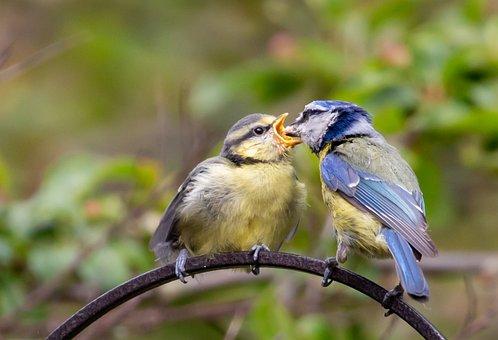 Feeding Fledgling Blue Tit, Fledgling Blue Tit