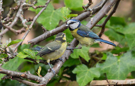 Fledgling Blue Tit, Baby Blue Tit, Blue Tit Chick