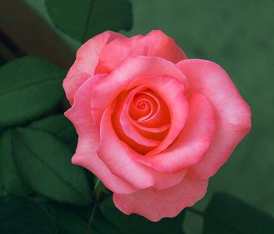 Queen In Flowers, Pink Rose, Rose, Pink, Flower, Love