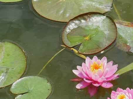 Water Lily, Lake, Foliage, Flower, Purple, Nature