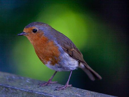 Robin Redbreast On A Fence, Robin, Robin Redbreast