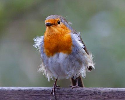 Robin Redbreast On Fence, Robin, Robin Redbreast