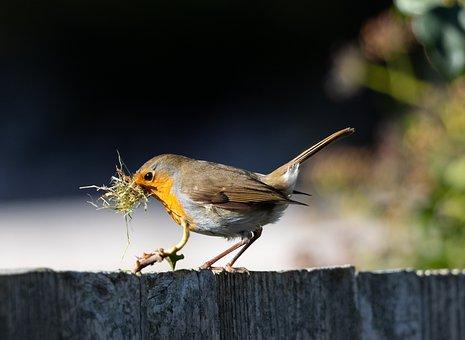 Robin Redbreast On Fence, Robin, Nesting