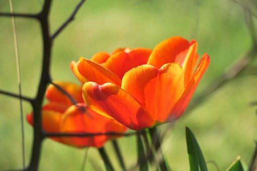 Tulip, Blossom, Bloom, Orange, Cup, Petals, Calyx