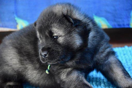 Dog, Puppy, Young Dog Eurasier, Eurasier Black Mask