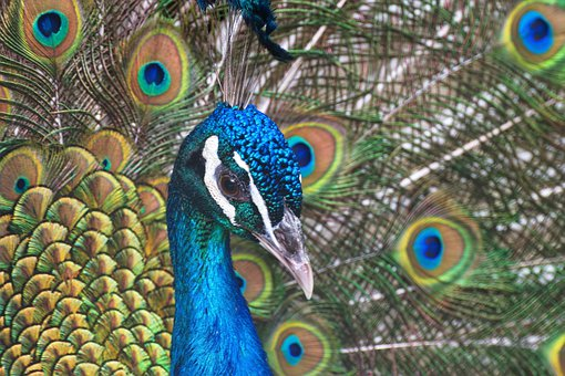 Peacock, Head, Beak, The Neck, Eyes, Feathers, Colorful