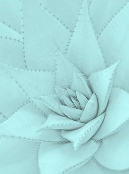 Agave, Succulent, Juicy, Tiffany, Mint