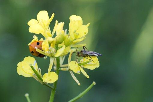 Oilseed Rape, Yellow, Ladybug, Leaf Bug