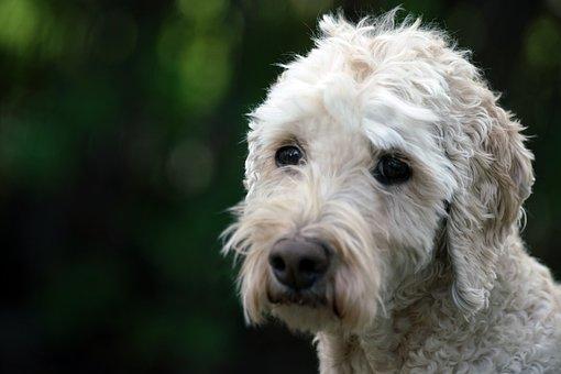 Poodle, Dog, Standard, Pet, Outside