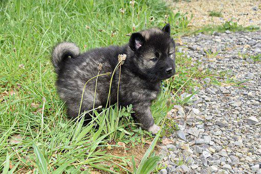 Dog, Puppy, Young Dog Eurasier