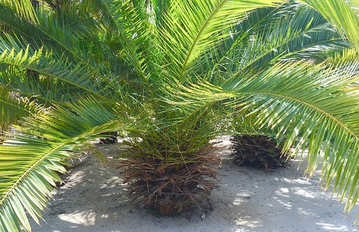 Palm, Tree, Tropical, Fronds, Summer
