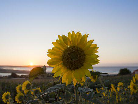 Sunflower, Summer, Pl, Yellow, Flowers, Agriculture