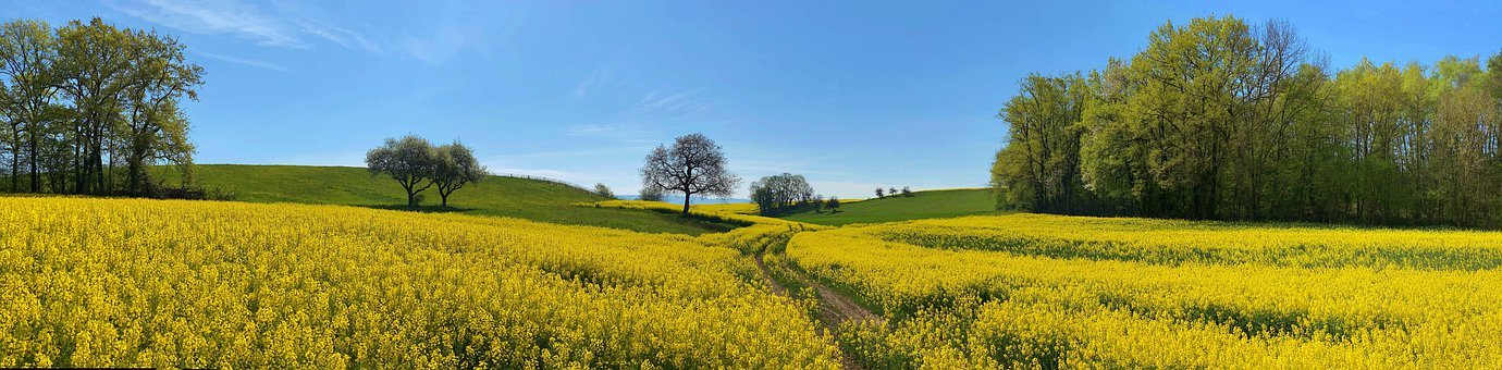 Field, Rapeseed, Yellow, Traces