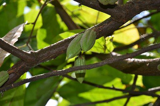 Cacao, Beans, Pods, Tree, Tropical
