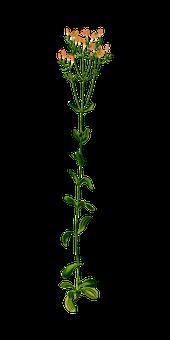 Biennial, Floral, Flower, Gentian, Herb