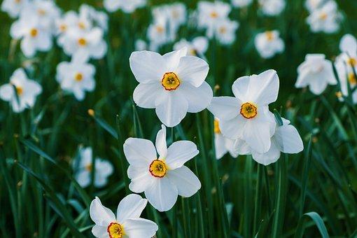 Narcissus, White, Bloom, Spring, Nature, Springtime