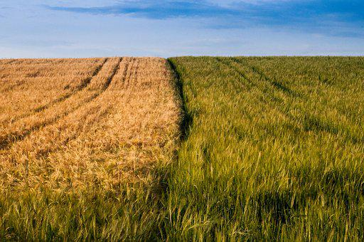Field, Cereals, Summer, Ripe, Yellow, Wheat