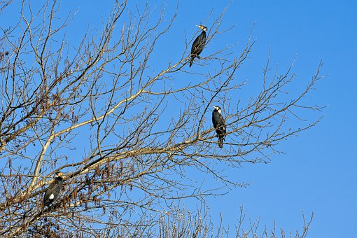 Great Cormorant, Serve, Tree, Bird