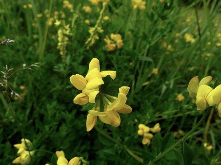 Yellow Flower, Wildflower, Mimulus, Flowers, Phrymaceae