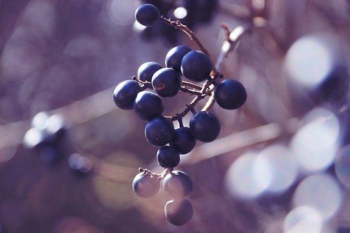 Privet Berries, Hedge, Black Berries