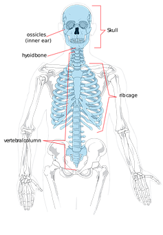 Skeleton, Bones, Human, Science, Diagram, System