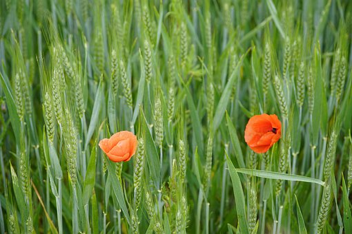 Rye, Field, Summer, Agriculture, Grey, Green, Poppies