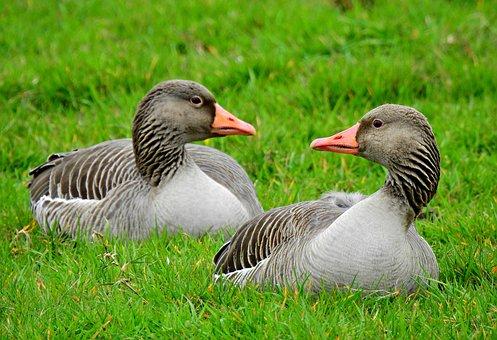 Goose, Water Bird, Animal, Feather, Plumage, Bill, Head