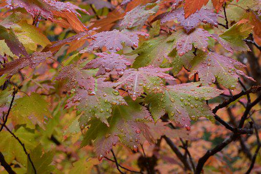 Autumn, Leaves, Nature, Fall, Tree, Colorful, Maple