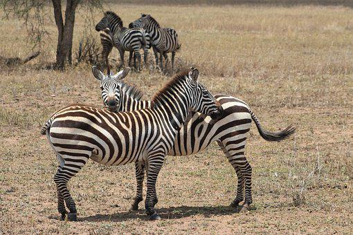 Zebra, Africa, Safari, Nature, Animal, Wildlife