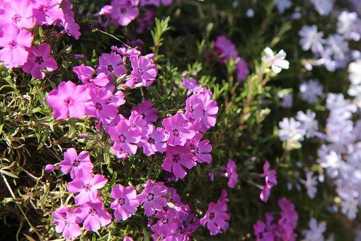 Balconnière Flower, Flowering, Pink Flowers, Plants