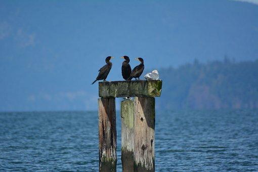 Common Cormorant, Bird, Wildlife, Seabird, Animal, Wild