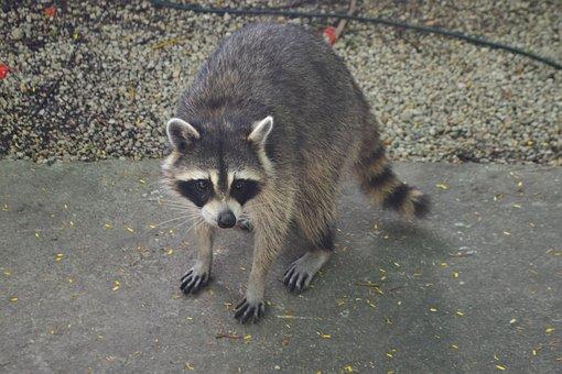 Raccoon, Animals, Nature