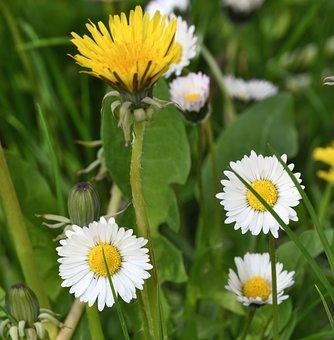 Prato, Flowers, Margaret, Dandelion, Spring