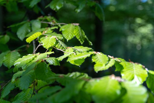Tree, Forest, Nature, Leaves, Environment, Green, Leaf