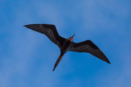 Binding Frigatebird, Fregata Minor