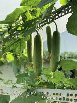 Gourd, Luffa, Loopah, Vine, Tree, Garden, Four