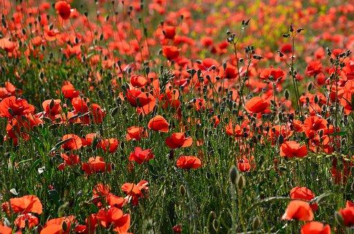 Poppy, Flower, Prairie, Field, Fields