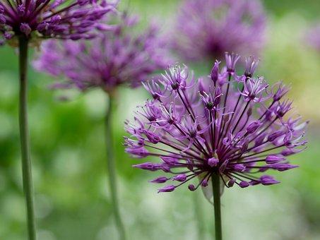 Leek, Violet, Purple, Spring, Blossom