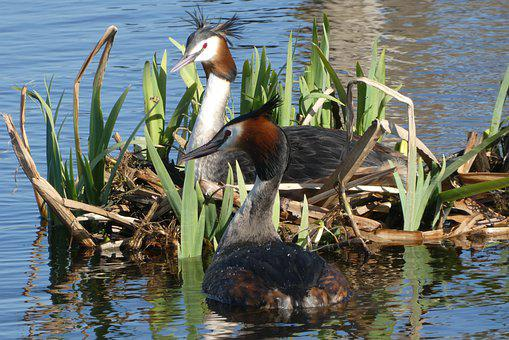 Grebe, Nest, Spring, Hatch, Waterfowl, Nature, Bird