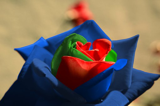 Rose, Red, Green, Blue, Petals, Outside, Flower, Plant