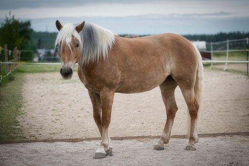 Haflinger, Horse, Brown, Pferdeportrait