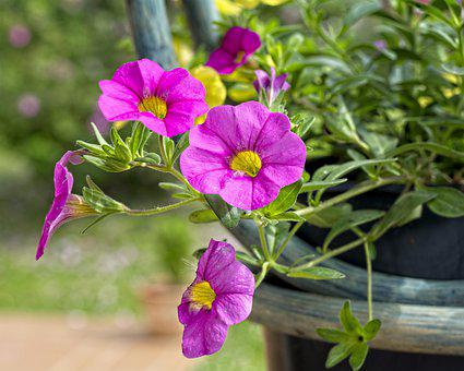 Surfinia, Plant, Plants, Garden, Flowers