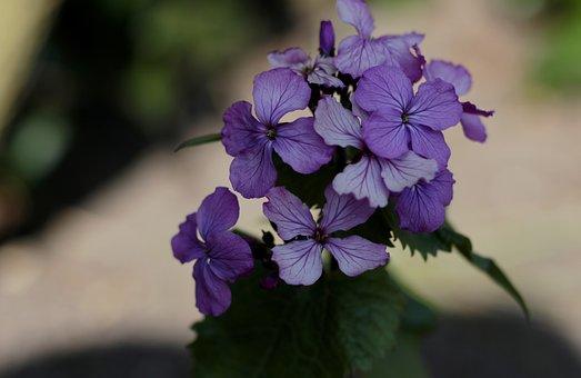 Lunaria Annua, Honesty In Purple
