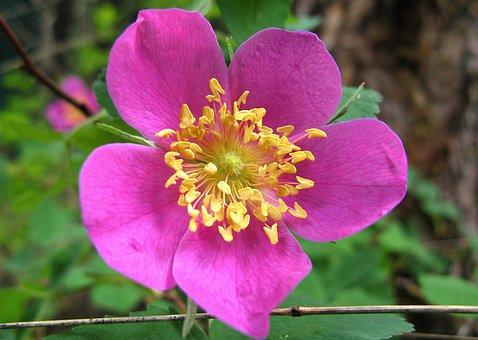 Rose, Alberta Rose, Alberta, Nature, Flower, Canada