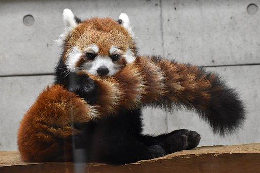 Red, Panda, Zoo, Animal, Tail, Stripe