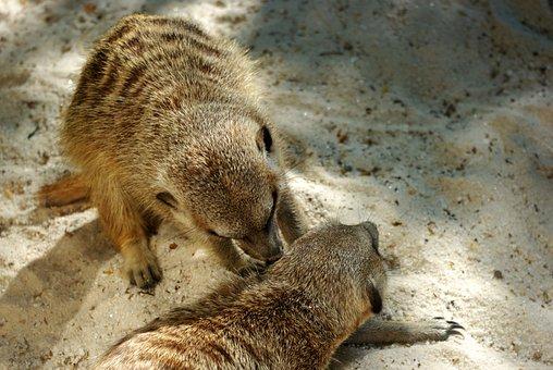 Animal, Africa, Zoo, Meerkat, Mammals