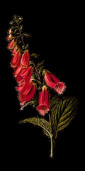 Biennial, Branch, Digitalis, Floral