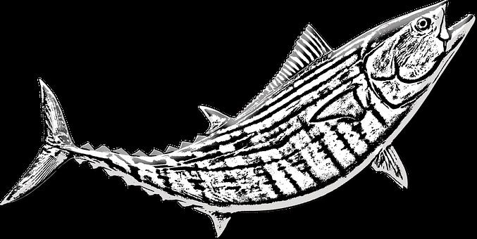 Fishing, Bonito Fish, Catch, Saltwater