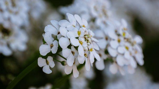 Candytuft, Iberis, Flower